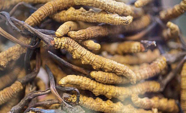 Cordyceps: uno dei rimedi più potenti e salutari al mondo